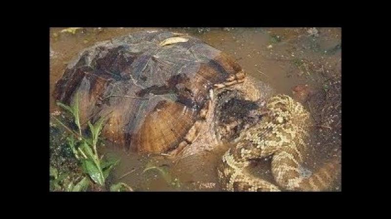 Ai mà ngờ Rùa cá sấu táp con mồi nhanh đến thế rắn phải bỏ mạng