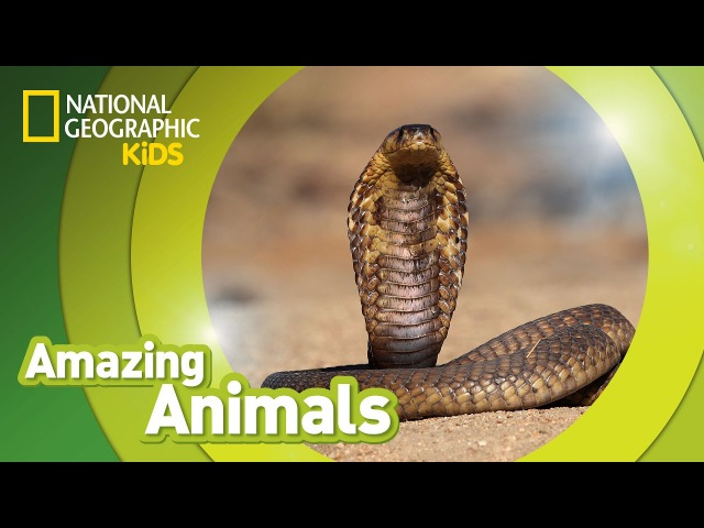 Kids' English | Cobra 🐍 | AMAZING ANIMALS