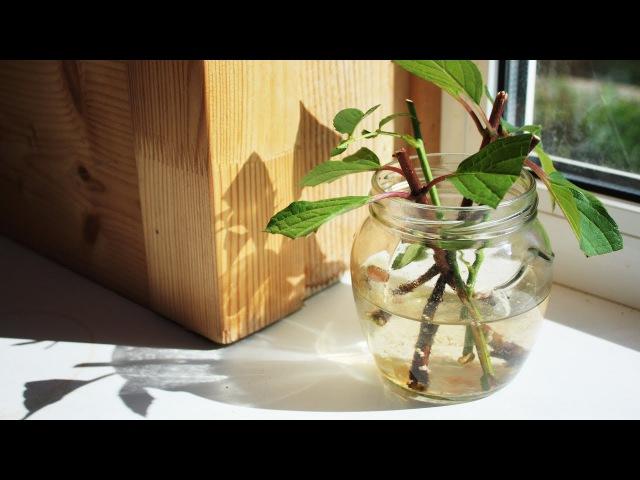 Уникальный способ укоренения черенков в воде