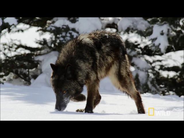 Spirit Animal ~ Wolf ~ Native American Music - Niall