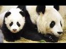 В зоопарке Вены панды-близнецы отмечают первый день рождения новости