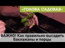 Голова садовая ВАЖНО Как правильно высадить баклажаны и перцы