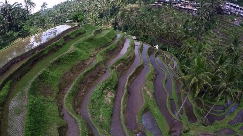 Рисовые террасы (Убуд,Бали) - канал СВОИМ ХОДОМ ✈ TRAVEL TV www.youtube.com