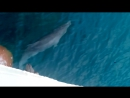 Дельфины по дороги от Карадага до Феодосии. Михаил Светлов