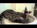 Baby Genet and Siamese Kitten playing
