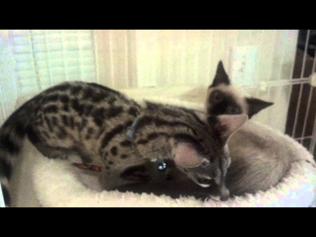 Baby Genet and Siamese Kitten playing