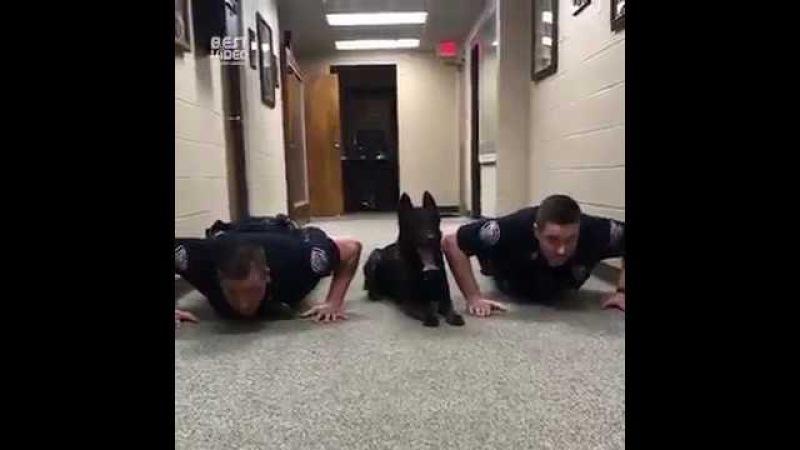 Полицейские К9 отжимаются