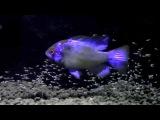 Ramirezis Electric Blue Breeding