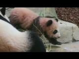 Детеныш панды во французском зоопарке