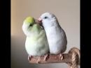 Воробьиные попугаи