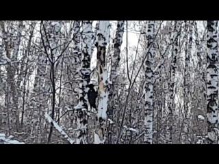 Большой черный дятел трудится в Бугринской роще, Новосибирск