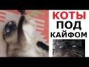 Лютые КОТЫ АЛКАШИ Обожрались кошачьей мяты и ловят кайф