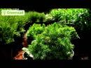 Выращивание ели в домашних условиях