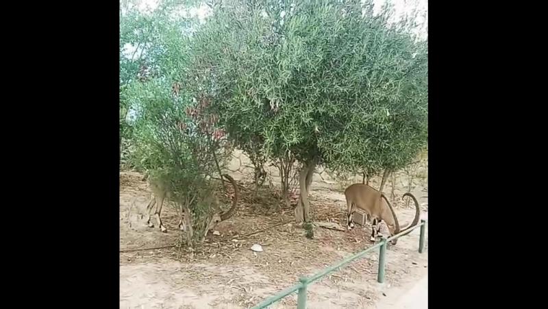 Дикие горные козлы на улицах Мицпе-Рамона.