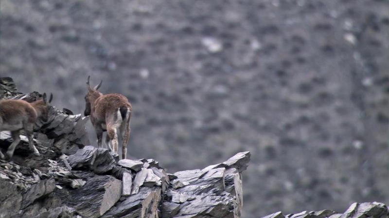 Планета Земля BBC HD / Горы / сцена погони снежного барса за горным козлом