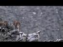 Планета Земля BBC HD Горы сцена погони снежного барса за горным козлом