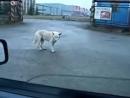 Собака жжёт Дог Дэнс