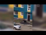 На Сахалине застрелили медведя, гулявшего по улицам города