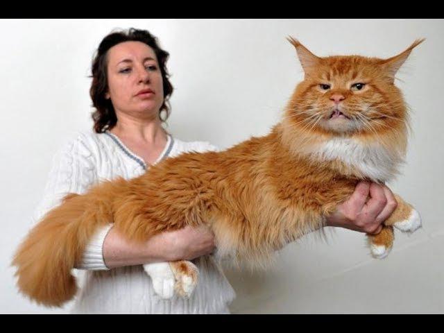 Веселые Мейн куны подборка приколов с забавными котиками