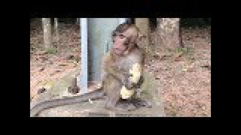 Just Get Banana Baby Monkey Scare Big Monkey Grab, Monkeys 1073 Tube BBC