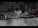 Русский лесной волк (Canis lupus lupus)