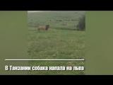 Маленький пёс напугал льва в Танзании