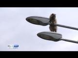 Енот на фонарном столбе: как в Сочи спасали животное