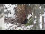 Желна. (Черный дятел) Национальный парк «Валдайский