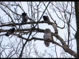 Вороны гоняют сову