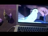 Попугай, который напевает мелодию из айфона, не очень рад своей популярности