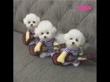 Собаки играют на мандолине