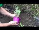 Como Y Porque Plantar Salvia En El Huerto O Jardín __ Aromáticas __ La Huertina De Toni