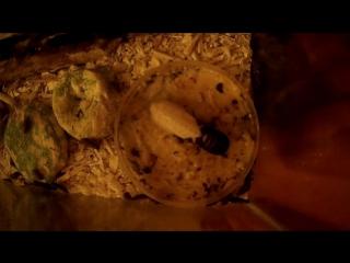 Линька мадагаскарского таракана
