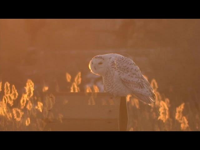 Snowy owls jersey city