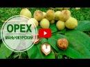 Маньчжурский орех ➡ Особенности выращивания 🌟 Полезные советы hitsadTV