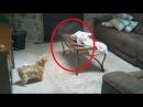 15 Страшных Видео Когда Домашние Животные Увидели Настоящего Призрака