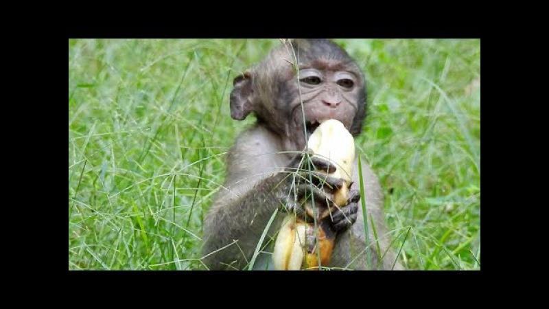 King Of Cry Baby Monkey Eating Big Banana - Babies Monkeys Very Funny