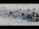Противостояние бизоны-волки