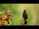 Дроздовидная камышевка,полевой жаворонок,чёрный дрозд,иволга,соловьи – восточный и южный