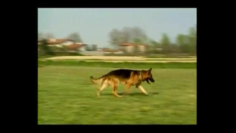Дрессировка собак. Выработка общих навыков послушания