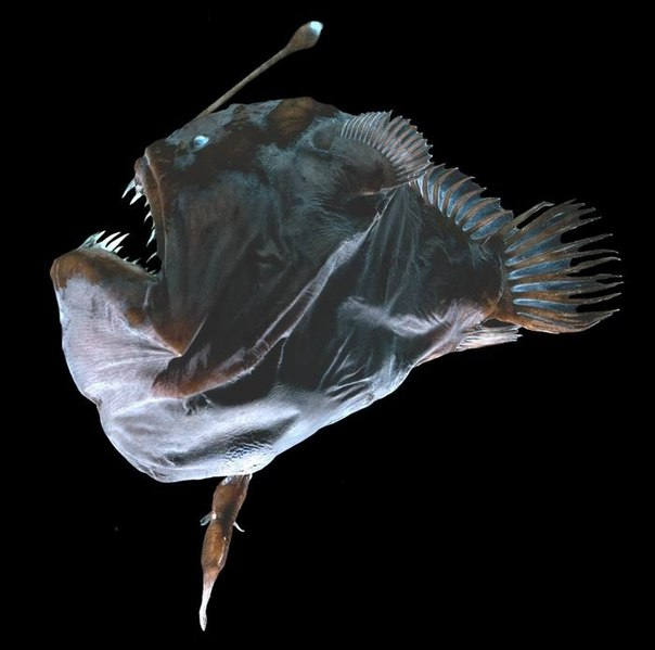 review on deep sea anglerfish reproduction The angler fish live in the deep sea, so deep that almost no sunlight comes through the water this helps the angler fish to search for prey  reproduction when.