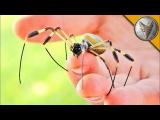 УКУСИТ ЛИ! - ОГРОМНЫЙ КРУГОПРЯД.Ядовитый паук с самой большой паутиной.Brave Wilderness на русском