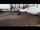 Блядскин охотники на голубей забывают родную речь и вступают в ряды Шахида голубей