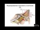 Формирование плечевого сплетения (Plexus brachialis)