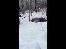 Жёсткая Охота на медведя зимой 2