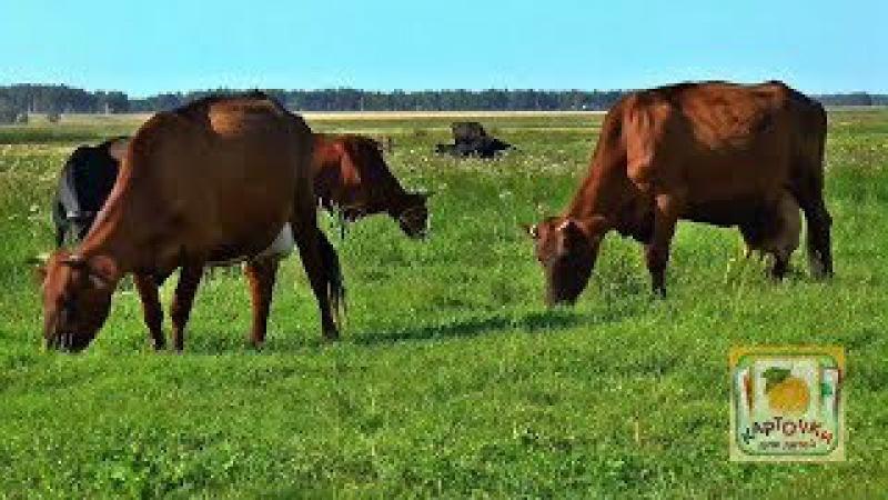 Коровы пасутся на лугу - Домашние Животные - Карточки Для Детей