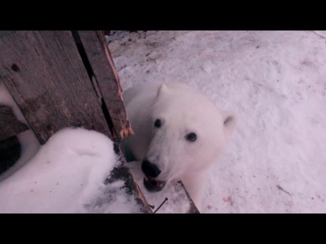 Это Россия детка! Кормление белого медведя печеньками.This Russia baby! Feeding the polar bear.