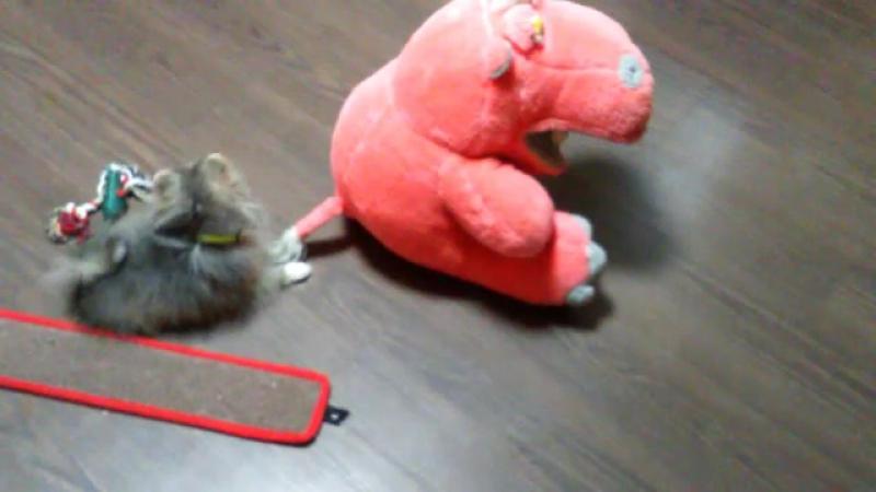 Шпиц по имени Мышка против бегемота