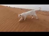 Как ходят коты и кошки? По своим же следам!