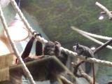 тамарины интересуются детенышем ленивца